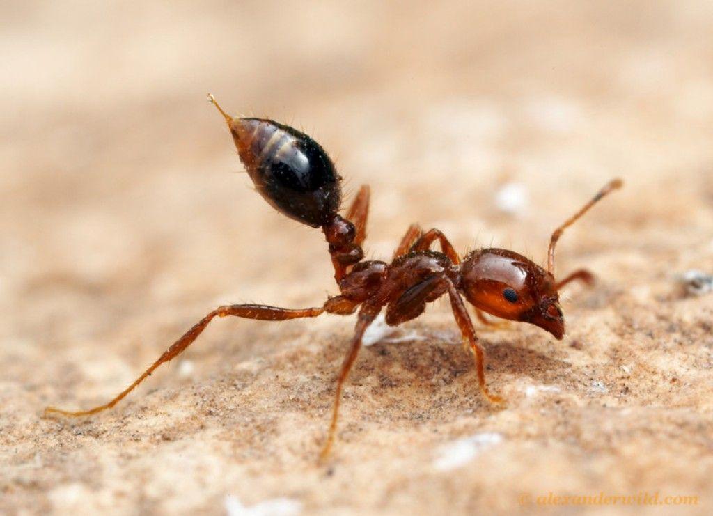 В мае красные огненные муравьи были обнаружены в порту Кобе / otravlen.ru