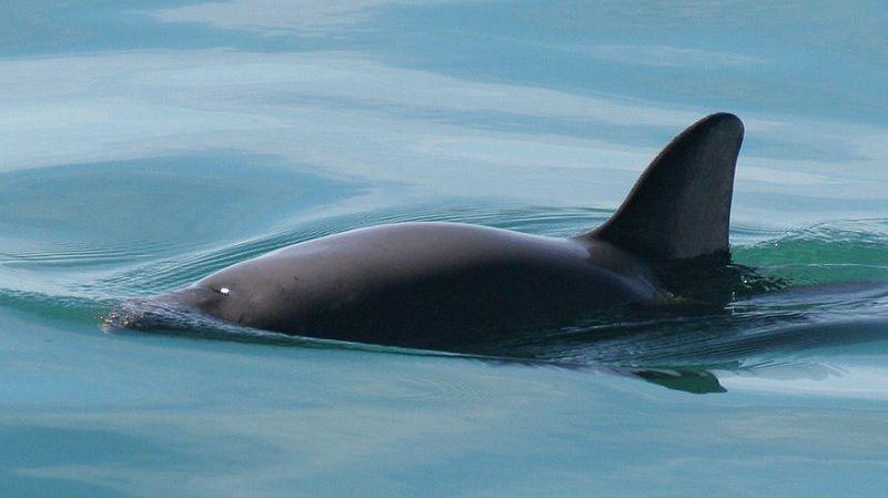 Дельфіни займуться порятунком останніх 30 морських свиней