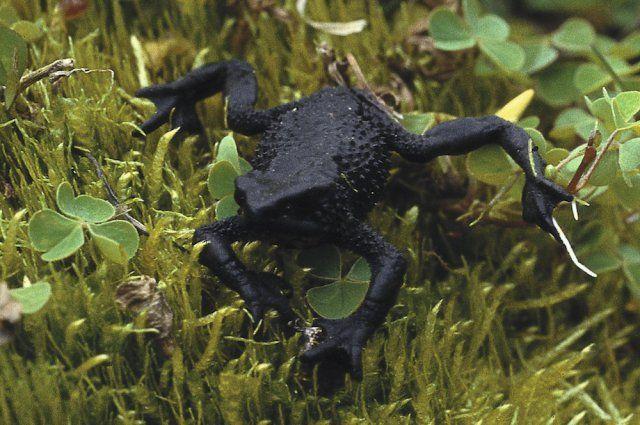 Чтобы жабы принесли потомство, их переместили из лаборатории в открытое пространство / Фото zoologia.puce.edu.ec