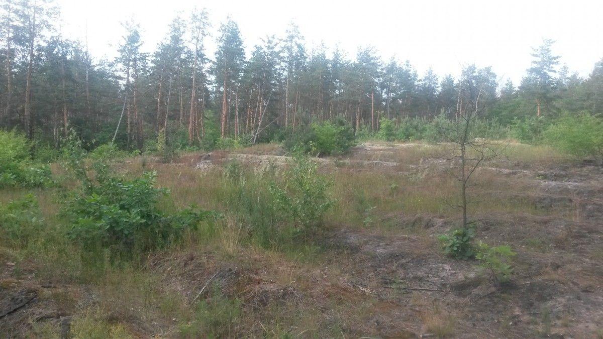 Заповідний ліс в Пуща-Водиці масово вирубує «лісова мафія»