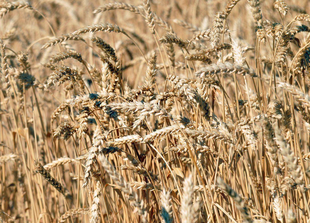 Прогноз урожая украинской пшеницы на 2021 год / фото УНИАН