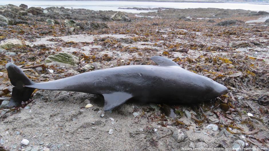 Количество смертей дельфинов из-за деятельности человека достигло наибольшего уровня за последние 14 лет / Фото Claire Lewis/Cornwall Wildlife Trust Marine Strandings Network