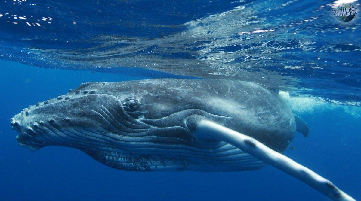 Ученые нашли удобный способ наблюдать за китами в открытом море / фото Зоогалактика