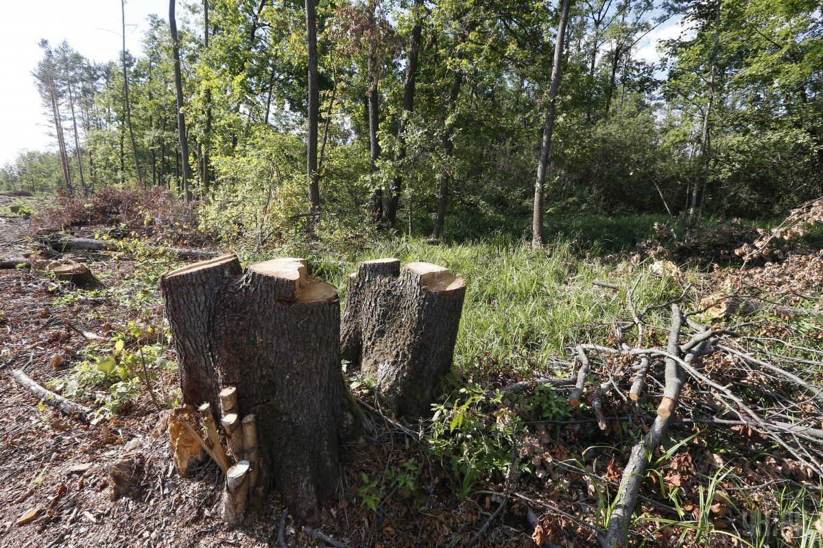 На березі Десни виявила незаконну порубку більше 300 дерев