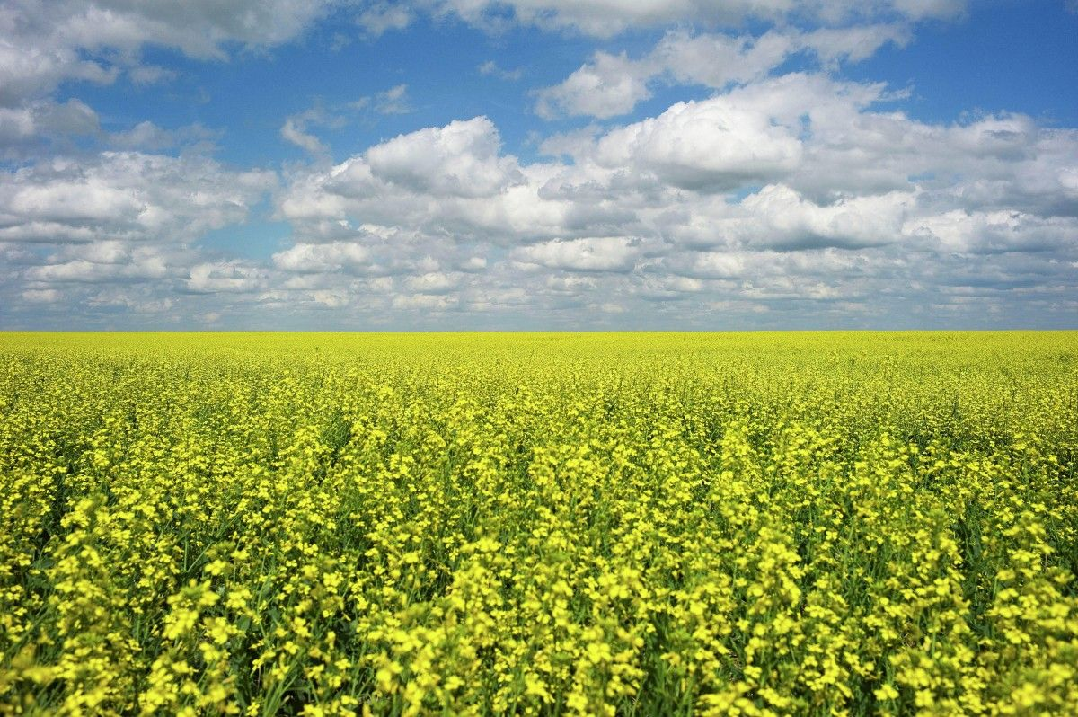 Ukraine usually starts sowing with winter rapeseed / REUTERS