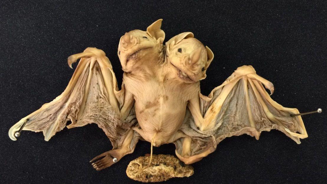 Необычную летучую мышь нашли в Бразилии / фото livescience.com