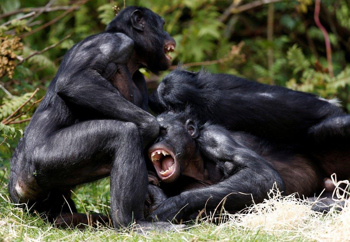 Обезьяны бонобо / REUTERS