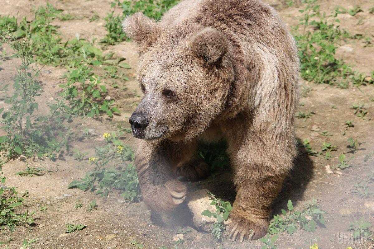 На Львовщине строят приют для бурых медведей