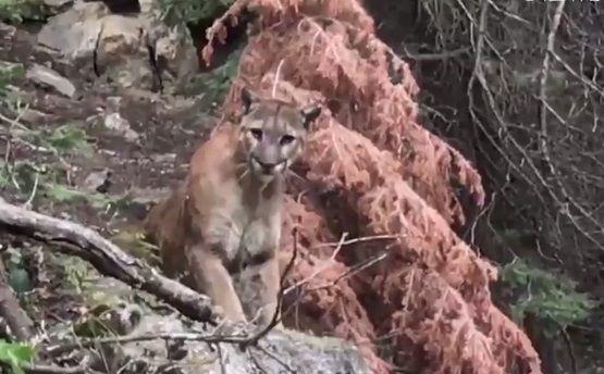Туристы неожиданно встретили горного льва / Скриншот