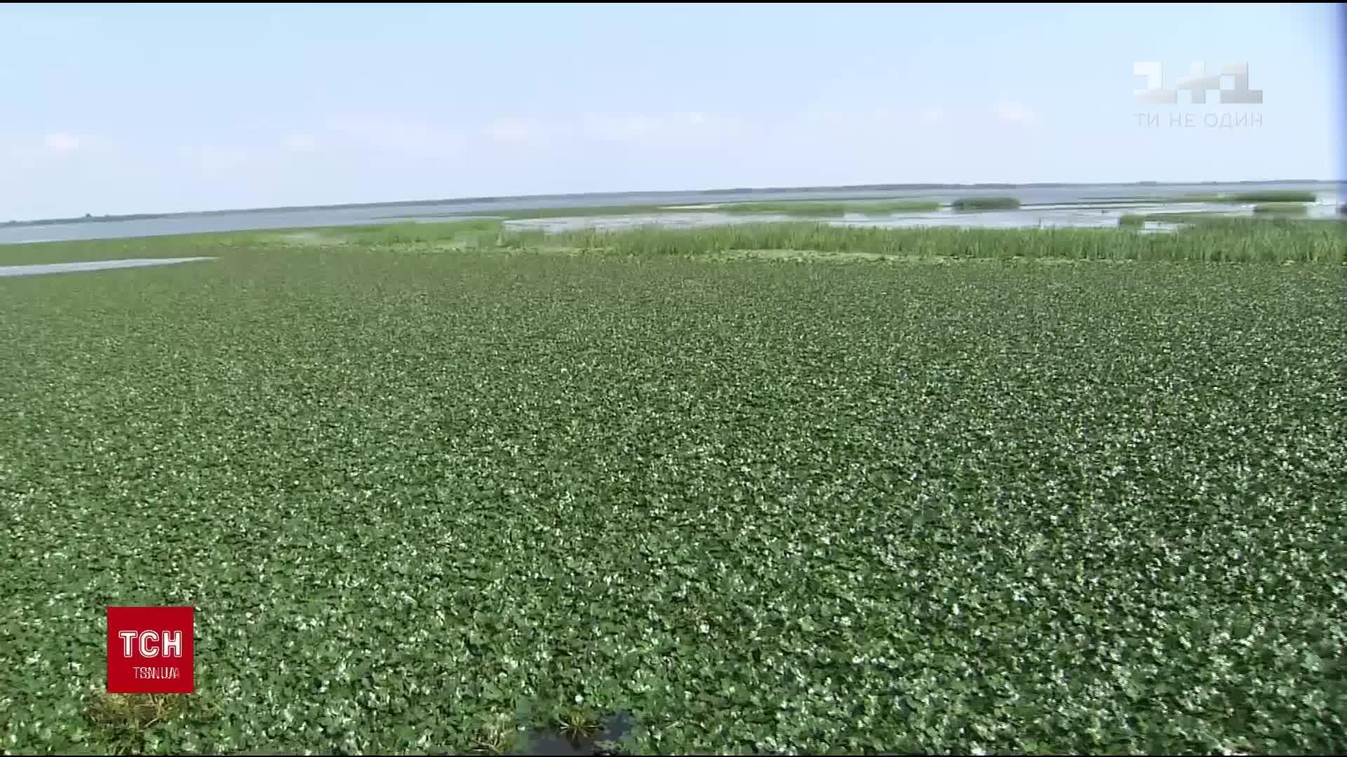У верхів'ї Київського водосховища ще здалеку видно цілі поля водяного горіху / скріншот