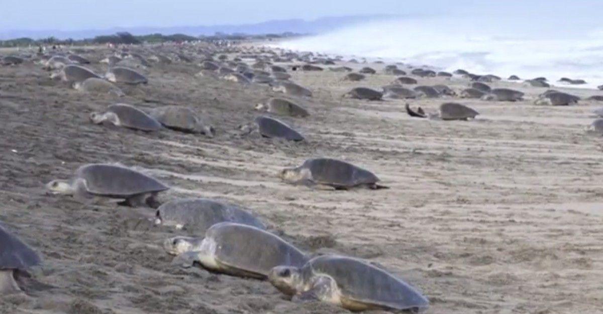Черепахи відкладуть близько 15 мільйонів яєць / скріншот