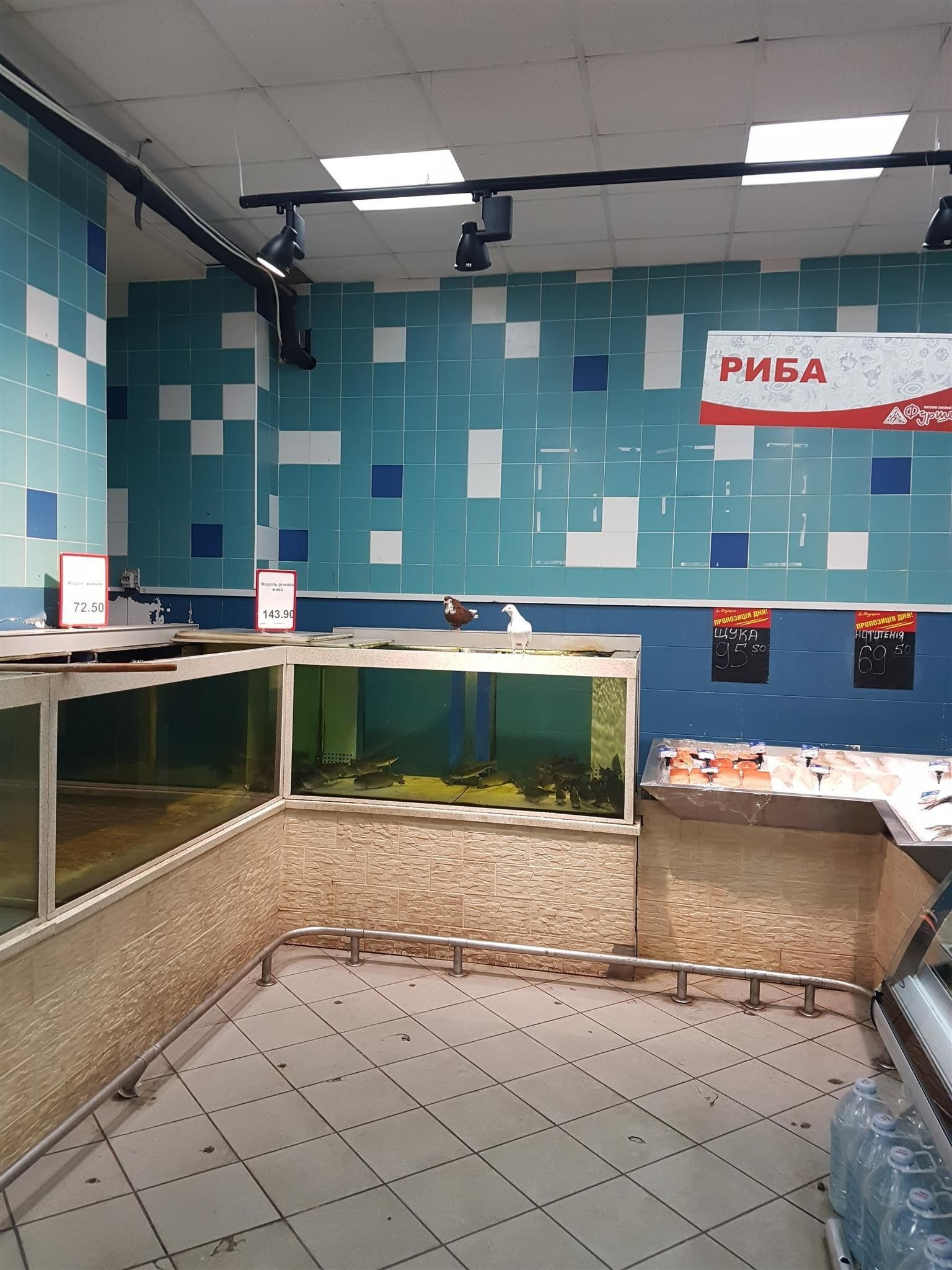 Голуби выглядят живую рыбу в аквариуме / фото ТСН