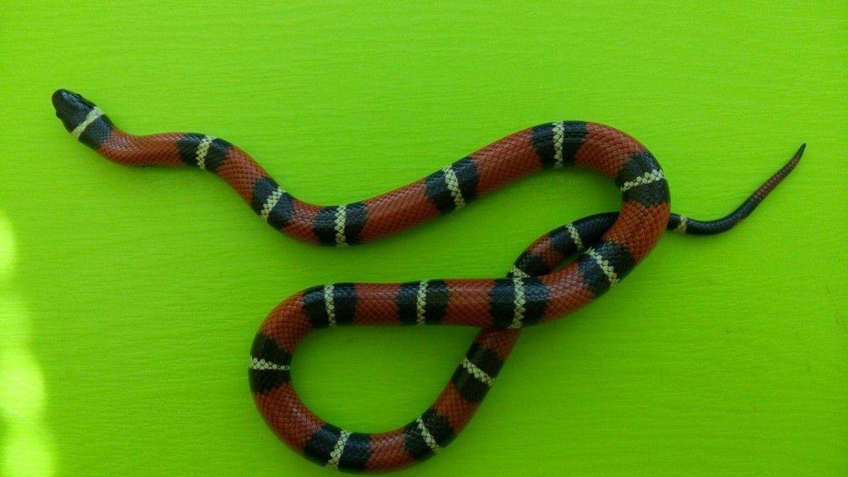 Змея внешне похожа на смертельно опасного кораллового аспида / фото facebook.com/KARG