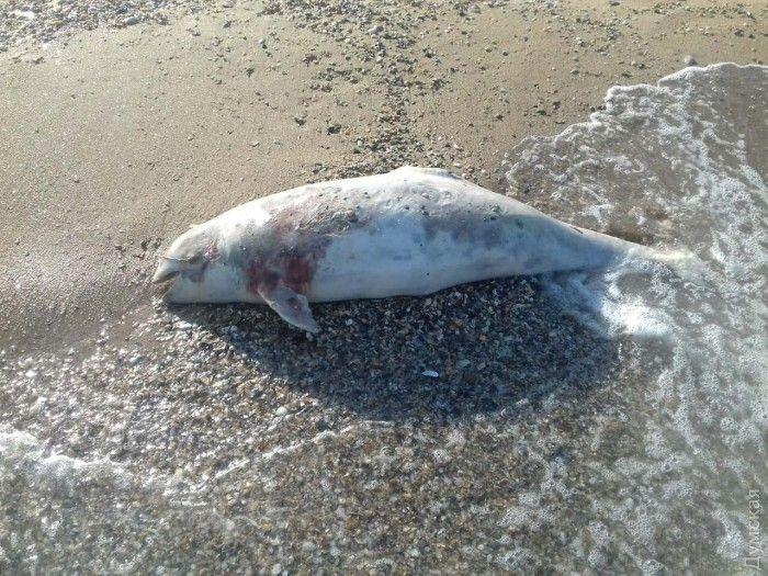 Ученые считают, что дельфинов губит неизвестная инфекция / dumskaya.net