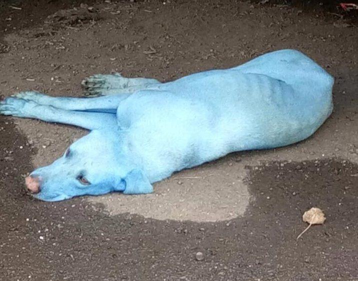 Було виявлено приблизно п'ять синіх собак / facebook.com Arati Chauhan