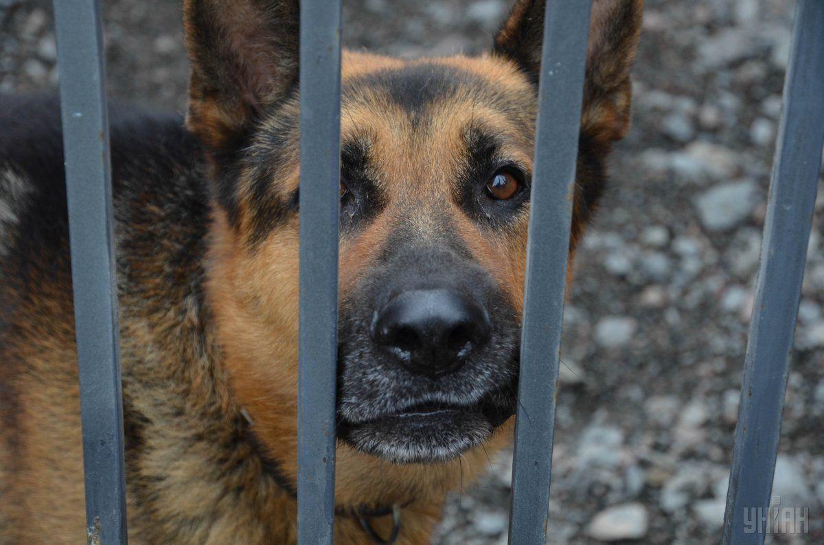 В Китае хотят отправить на службу в полицию клонов талантливого пса / УНИАН
