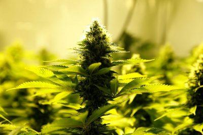 Конопля при гипертонии как определить марихуану ли это