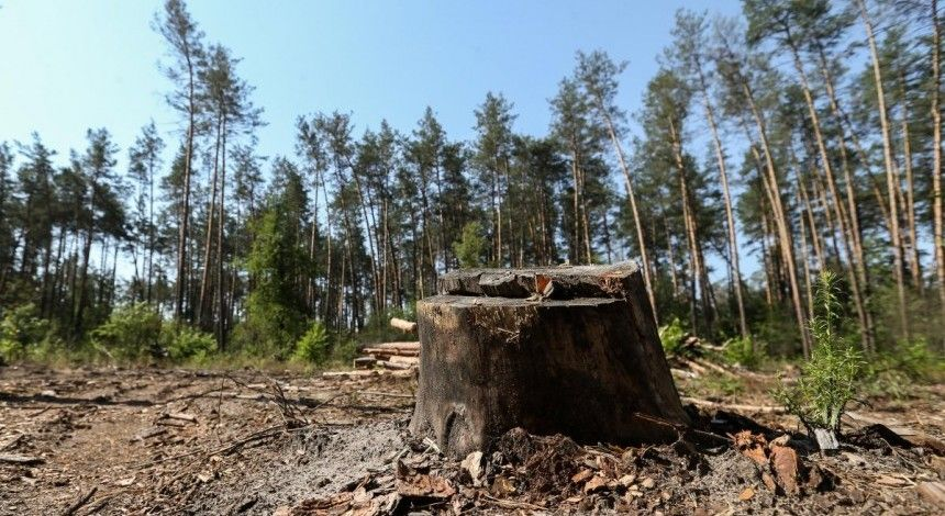 Українська влада заробляє на вирубці лісу - еколог