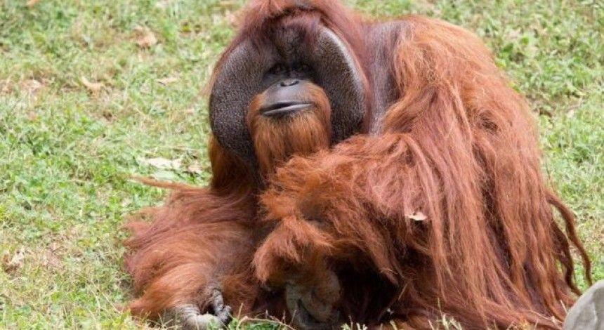 В Індонезії затримали росіянина, який намагався вивезти орангутанга у валізі