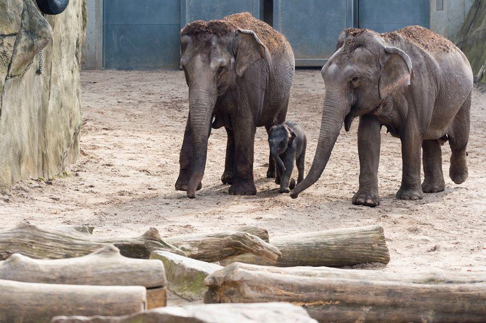 Кельнский зоопарк особо славится своими слонами / фото facebook.com/zoo.koeln