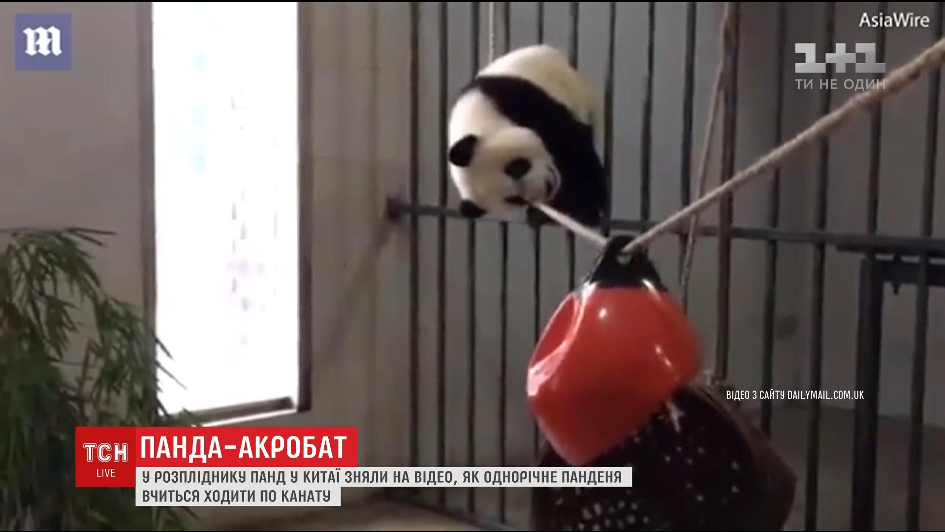 У китайському центрі розведення панд зняли спроби однорічного ведмедика пройти по канату /