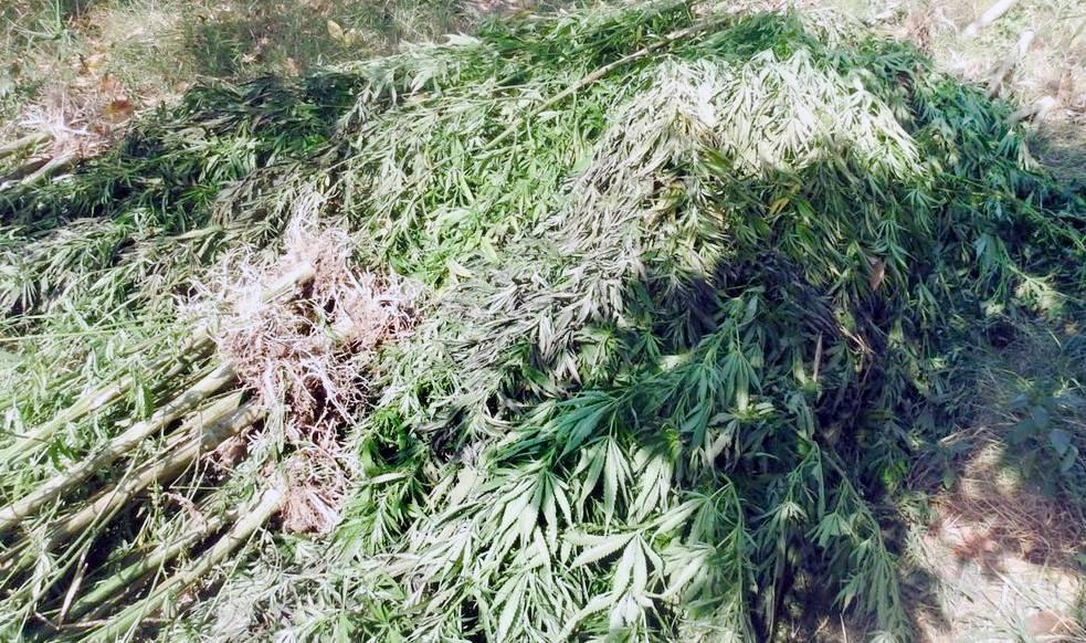 Загалом з теплиці вилучили 1 тисячу кущів коноплі / фото facebook.com/DPSUkraine