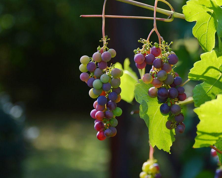 Настой листьев винограда от болезней суставов полный срок выздоровления после эндопротезирования коленного сустава