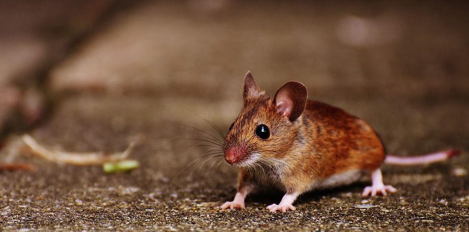 Вчені припустили, що мишам не вистачало руху в невагомості / pixabay.com