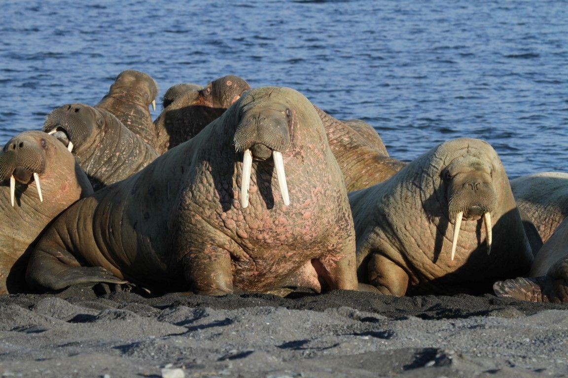 Півсотні молодих моржів загинули в тисняві на Алясці