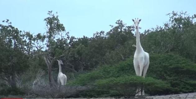 В Кении местным рейнджерам удалось сфотографировать двух редчайших белых жирафов / youtube.com