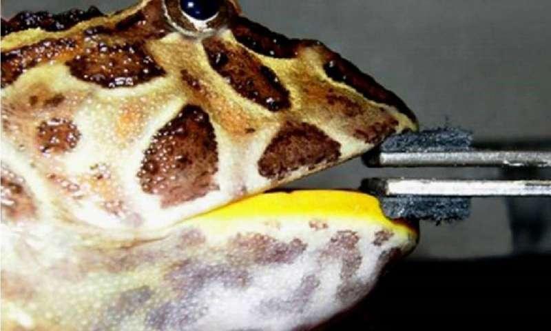 Лягушка могла пожирать динозавров / фото phys.org