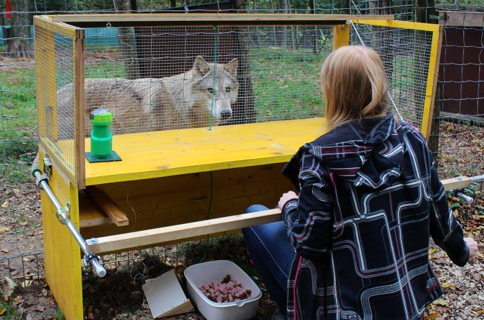 Ученые провели несколько экспериментов с волками / фото Michelle Lampe/Wolf Science Center