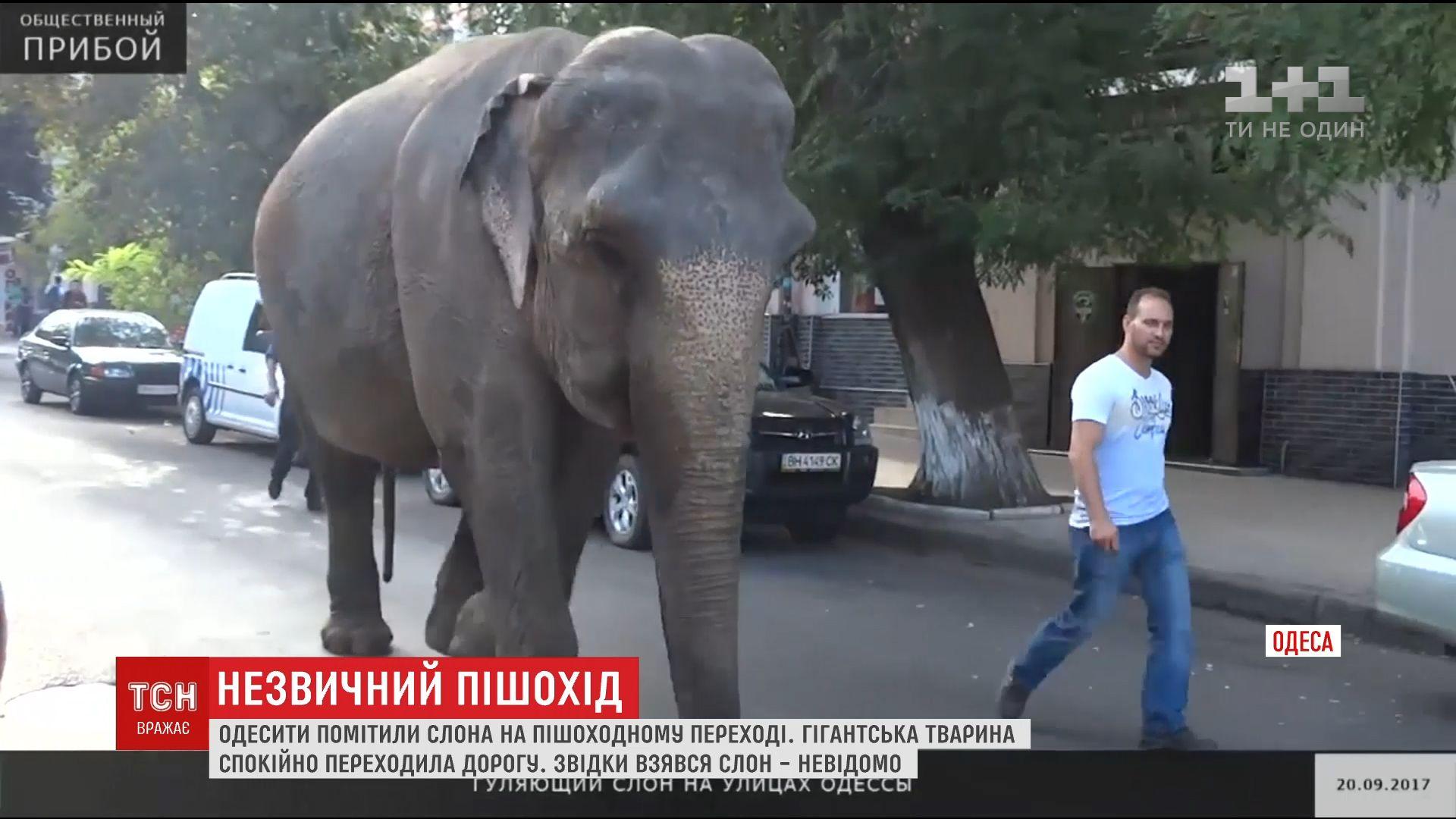 Огромный слон устроил прогулку по улицам Одессы /