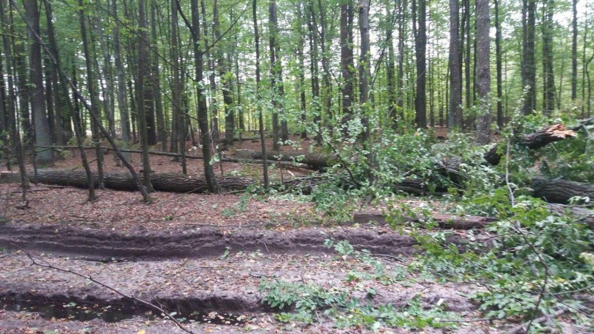 Дерева дуба були зрубані поруч із новозбудованою лісовою дорогою / фото Житомирська ОДА