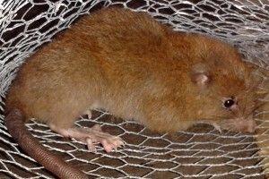 Крыса своими зубами может раскусить кокос / фото academic.oup.com