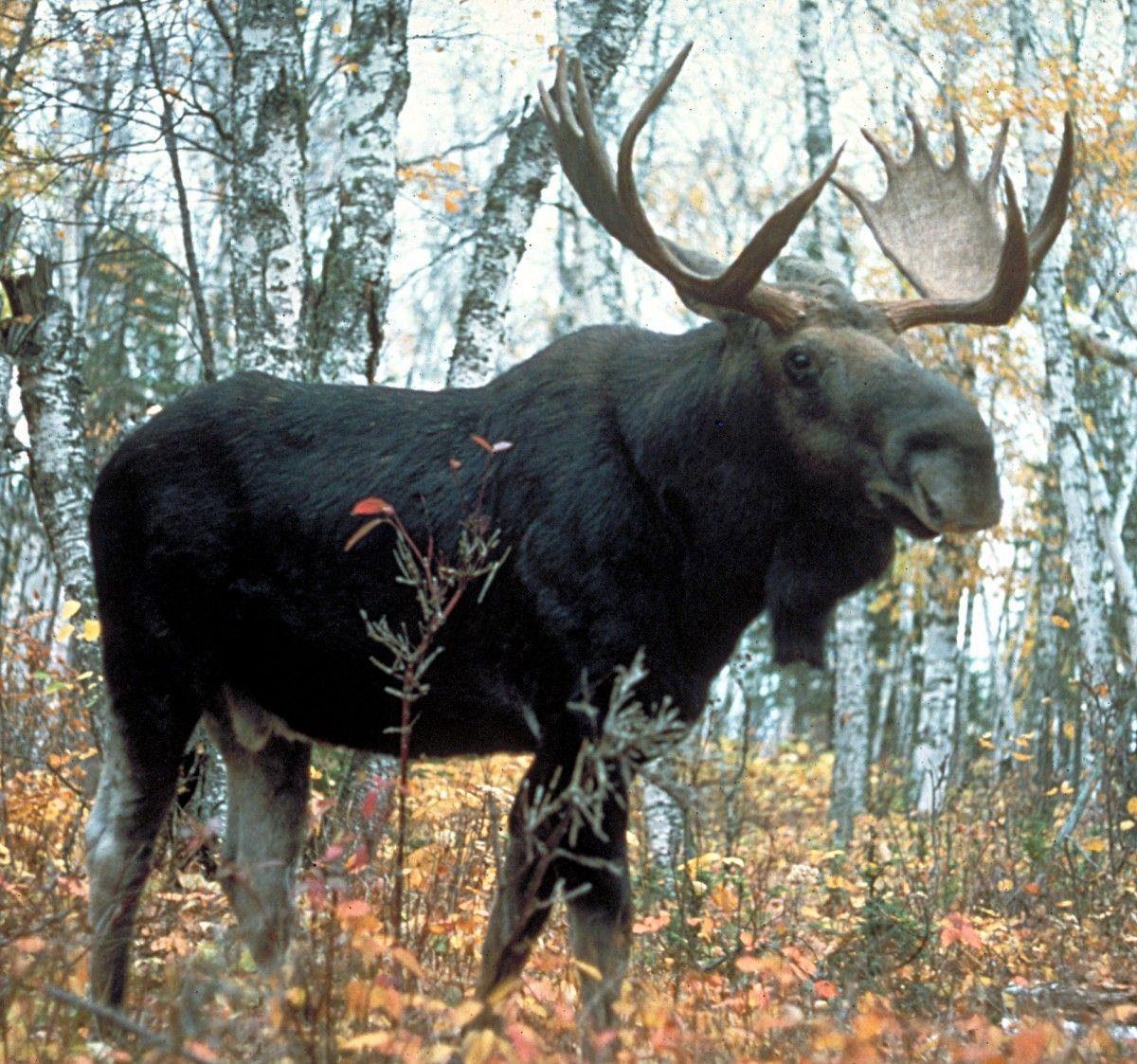 На Днепропетровщине убили лося / фото wikipedia.org