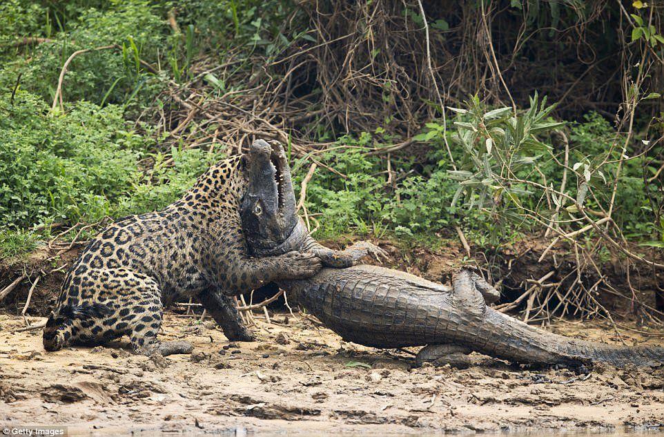 Ягуар затащил каймана в заросли / фото twitter.com/Ararasecolodge