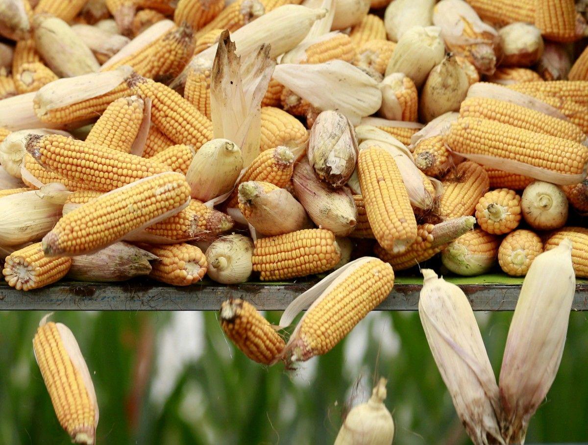 В Україні почалося збирання врожаю кукурудзи / REUTERS