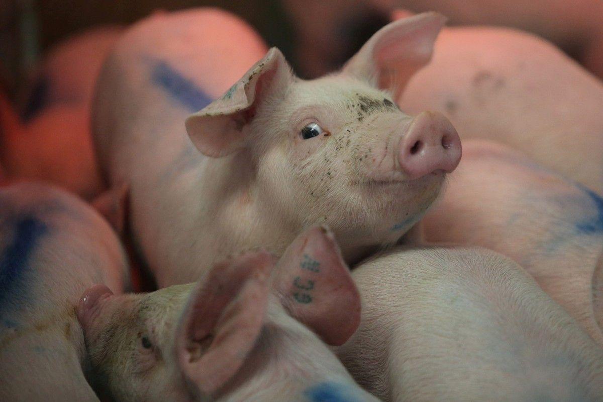 В фермерском хозяйстве на Виннитчине зафиксирована новая вспышка чумы свиней /REUTERS