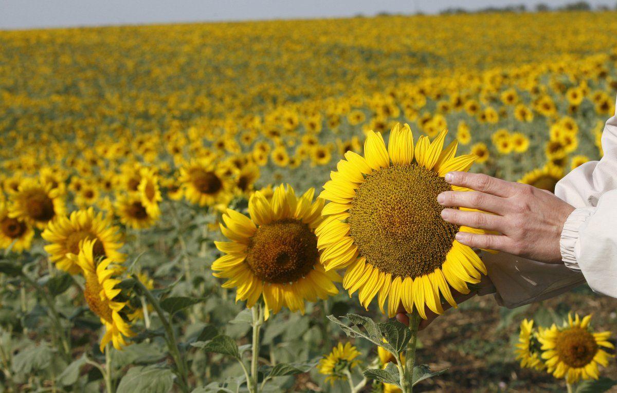 Украина нарастила экспорт семян подсолнечника до 10-летнего рекорда / REUTERS