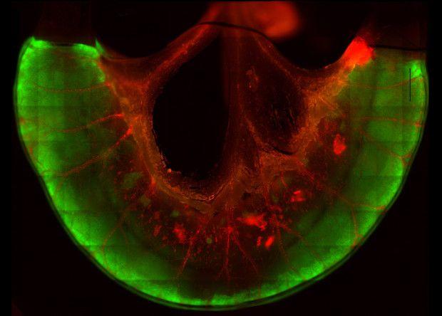 Фрагмент кишечника з флуоресцентно забарвленими клітинами / фото nplus1.ru