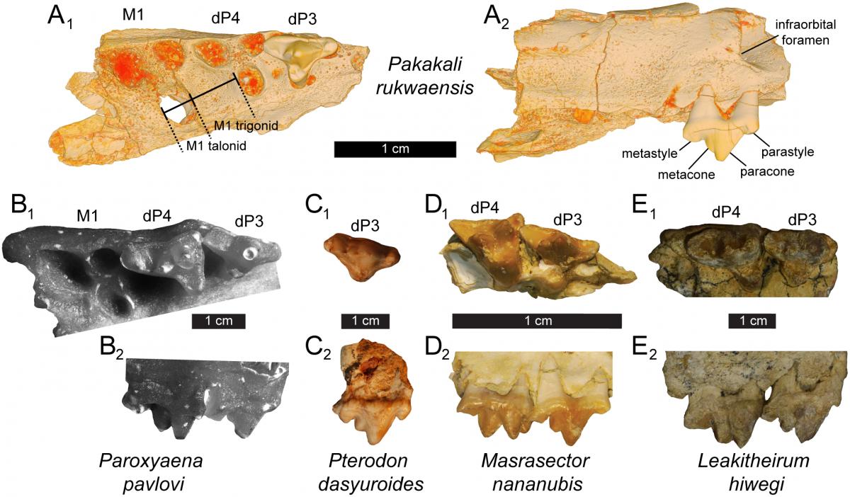Палеонтологи виявили останки тварини на південно-заході Танзанії / фото journals.plos