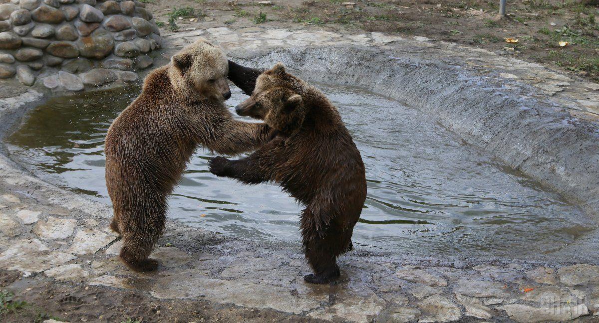 Ведмеді - це зникаючий вид / фото УНІАН