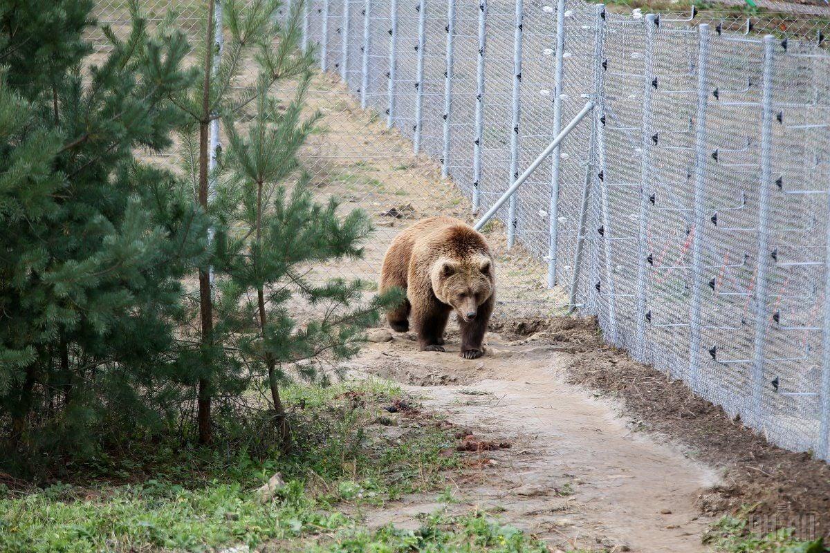 Лісники кажуть, що ведмедю було не більше 5 років / Фото УНІАН