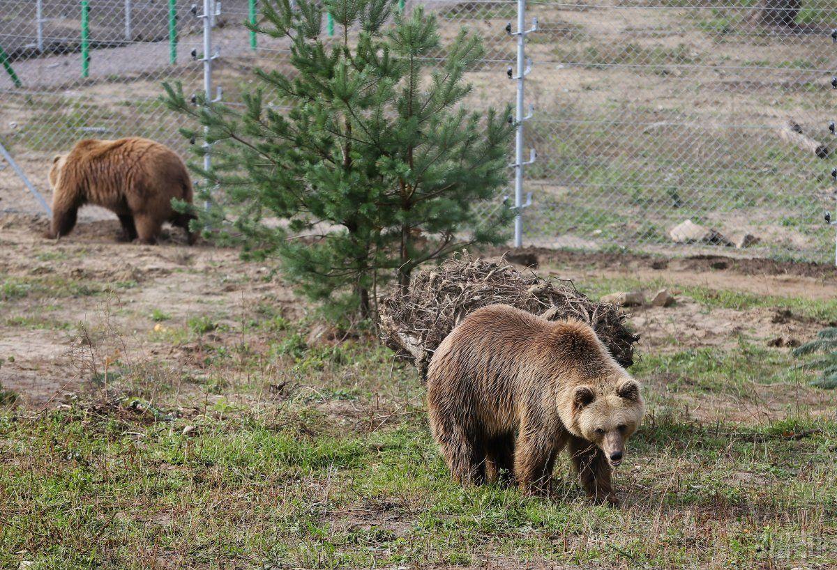 Бурий ведмідь знаходиться у Червоній Книзі / фото УНІАН
