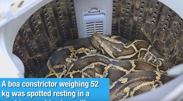 У Китаї жінка знайшла 52-кілограмового удава у пральній машині