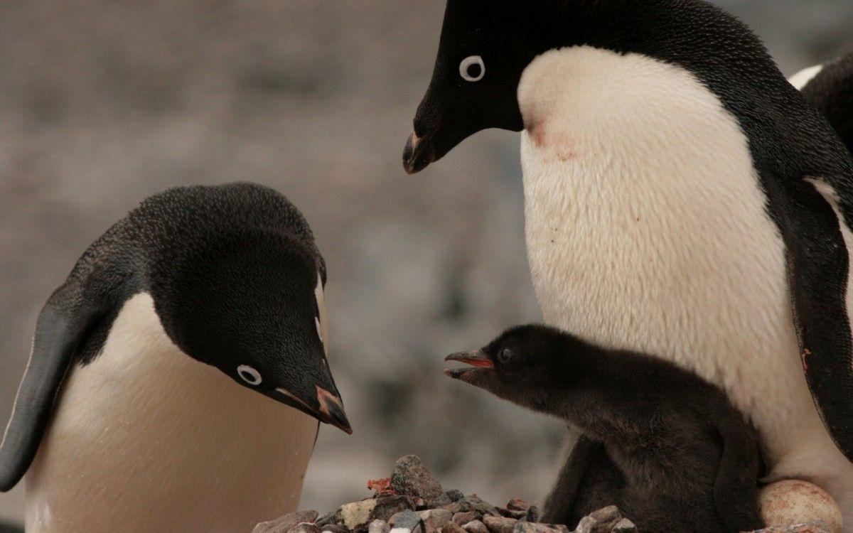 в Антарктиці період розмноження пінгвінів обернувся катастрофою