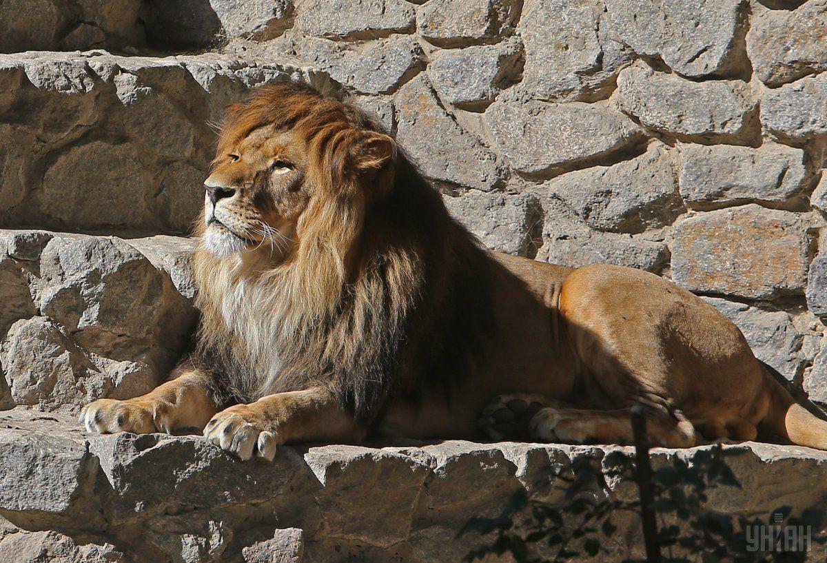 Лев в Киевском зоопарке / фото УНИАН