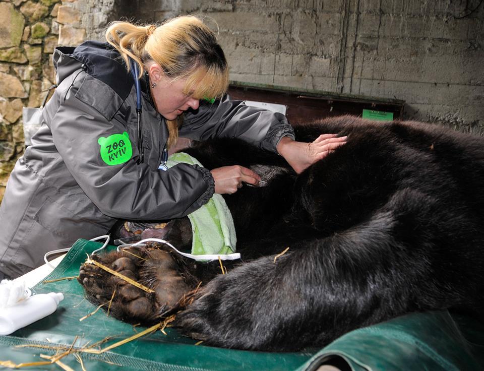 Медведю Балу провели сложную стоматологическую операцию / фото facebook.com/zoo.kiev.ua