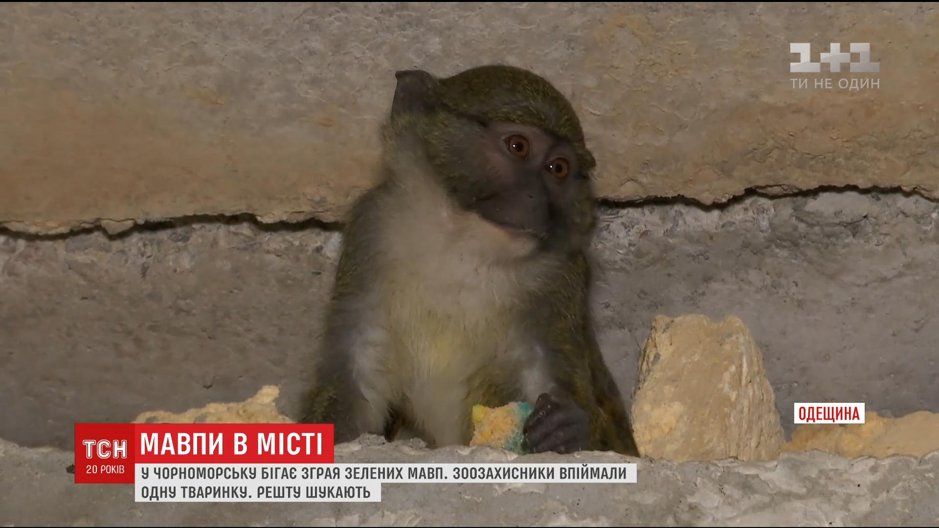 В Черноморске заметили диких зеленых мартышек / скриншот